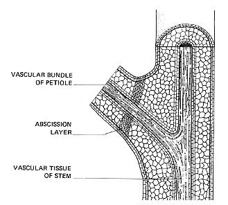 diagram of flower parts auxin  auxin