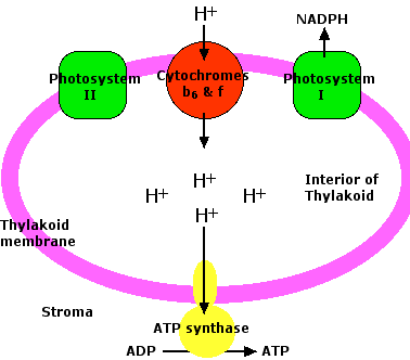photosystem 1 and 2 pdf