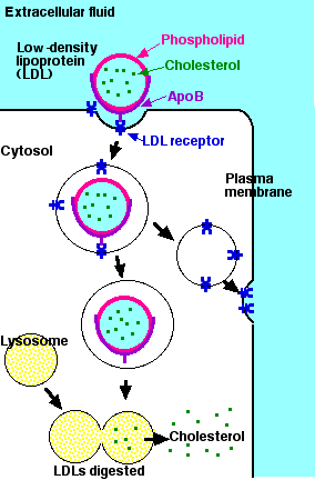 Phagocytosis Pinocytosis And Receptor Mediated Endocytosis ...